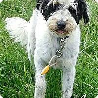 Adopt A Pet :: Boo - Oswego, IL