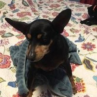 Miniature Pinscher Mix Dog for adoption in Salt Lake City, Utah - Teller