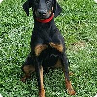 Adopt A Pet :: Nitro - Colonial Heights, VA
