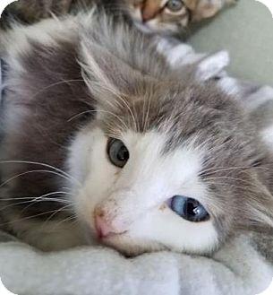 Domestic Mediumhair Kitten for adoption in Mission, Kansas - Skyline Feline
