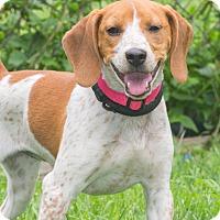 Adopt A Pet :: Brownie - Elmwood Park, NJ