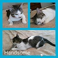 Adopt A Pet :: Handsome - Arlington/Ft Worth, TX