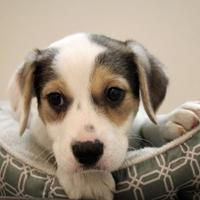 Adopt A Pet :: Willow - Woodstock, IL