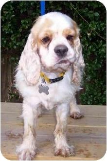 Cocker Spaniel Dog for adoption in Sugarland, Texas - Jessie