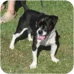 Boston Terrier/Terrier (Unknown Type, Small) Mix Dog for adoption in Hammonton, New Jersey - Patsy