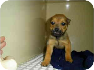 Pug/Feist Mix Puppy for adoption in Lincolnton, North Carolina - Dandy