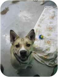 Akita Mix Dog for adoption in Warren, Michigan - Yoko