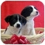 Photo 3 - Labrador Retriever/Border Collie Mix Puppy for adoption in Burnsville, North Carolina - Marlon & Chips