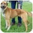Photo 2 - Labrador Retriever/Shepherd (Unknown Type) Mix Dog for adoption in North Judson, Indiana - Baily