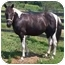 Photo 1 - Paint/Pinto/Tennessee Walking Horse Mix for adoption in McArthur, Ohio - RAVEN SUN