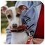 Photo 1 - Italian Greyhound Dog for adoption in Costa Mesa, California - Benito - OC