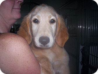 Basset Hound/Retriever (Unknown Type) Mix Puppy for adoption in Madison, Florida - Shine