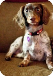 Dachshund Mix Dog for adoption in Houston, Texas - Sally
