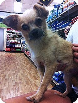 Terrier (Unknown Type, Small)/Chihuahua Mix Dog for adoption in Studio City, California - Barney