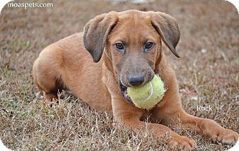 Hound (Unknown Type)/Labrador Retriever Mix Puppy for adoption in Danielsville, Georgia - Rock