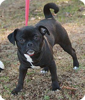 Pug Mix Dog for adoption in Washington, D.C. - Missy (esther)