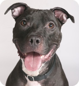 American Pit Bull Terrier Dog for adoption in Chicago, Illinois - Delilah