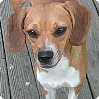 Adopt A Pet :: Daisy Sue - Houston, TX