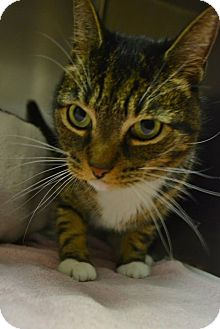 Domestic Shorthair Cat for adoption in Bay Shore, New York - Hobo