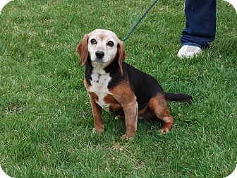 Beagle Dog for adoption in North Judson, Indiana - Willow