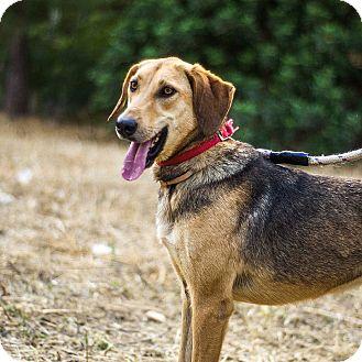 Labrador Retriever Mix Dog for adoption in Toronto, Ontario - GINGER