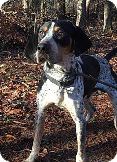 Bluetick Coonhound Mix Dog for adoption in Spring Valley, New York - Miller