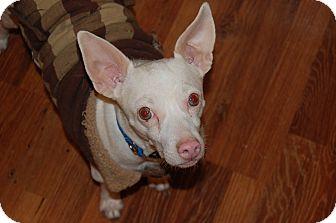 Chihuahua/Rat Terrier Mix Dog for adoption in Minot, North Dakota - Albi