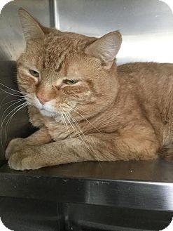 Domestic Shorthair Cat for adoption in Webster, Massachusetts - Seymour