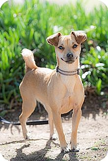 Jack Russell Terrier/Terrier (Unknown Type, Small) Mix Dog for adoption in Corona, California - PT