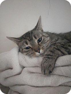 American Shorthair Cat for adoption in Alexandria, Kentucky - Jacquelin