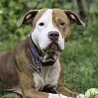 Pit Bull Terrier Mix Dog for adoption in Port Washington, New York - Odin