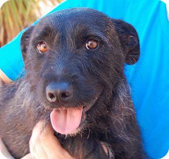 Scottie, Scottish Terrier/Terrier (Unknown Type, Medium) Mix Dog for adoption in Las Vegas, Nevada - Alastair