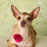 Chihuahua Dog for adoption in Nashville, Tennessee - Spicy