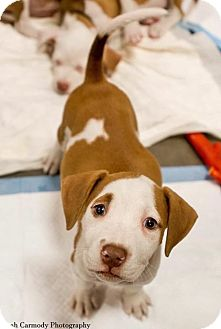 Pit Bull Terrier Mix Puppy for adoption in Jacksonville, North Carolina - Tiger Lilly