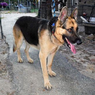 German Shepherd Dog Dog for adoption in SAN ANTONIO, Texas - OZZY