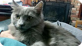 Domestic Mediumhair Cat for adoption in Vacaville, California - Wolfie