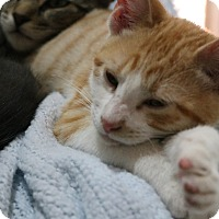Domestic Shorthair Cat for adoption in cupertino, California - Ollie