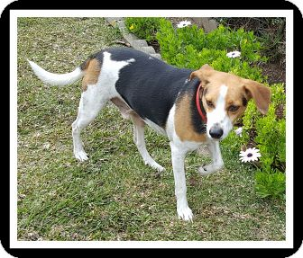 Foxhound/Beagle Mix Dog for adoption in Winchester, California - BAXTER