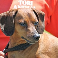 Dachshund Mix Dog for adoption in Jewett City, Connecticut - Logan Augustise