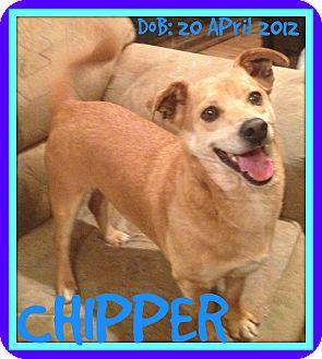 Corgi Mix Dog for adoption in New Brunswick, New Jersey - CHIPPER