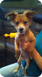Papillon/Terrier (Unknown Type, Small) Mix Puppy for adoption in Glendale, Arizona - PETUNIA