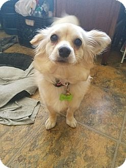 Chihuahua/Pomeranian Mix Dog for adoption in Los Angeles, California - Lexi
