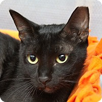 Domestic Shorthair Cat for adoption in Sarasota, Florida - Joaquin