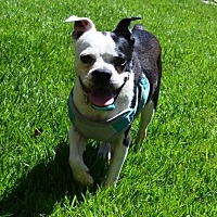 Adopt A Pet :: Chowder - Huntington Beach, CA