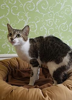 Domestic Shorthair Cat for adoption in Red Wing, Minnesota - Tabitha
