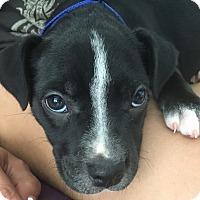 Adopt A Pet :: Rebel - San Diego, CA