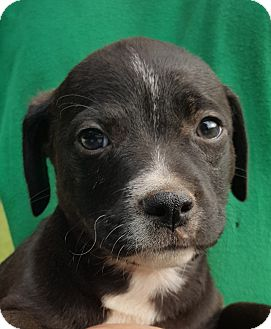 Labrador Retriever/Basset Hound Mix Puppy for adoption in Colonial Heights, Virginia - Chunk