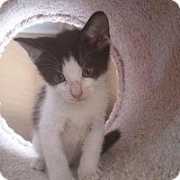 Adopt A Pet :: Figaro - Flower Mound, TX