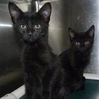 Adopt A Pet :: kitten 2 dallyn - Meadow Lake, SK