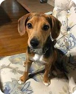 Jack Russell Terrier Mix Dog for adoption in Washington, D.C. - Jack